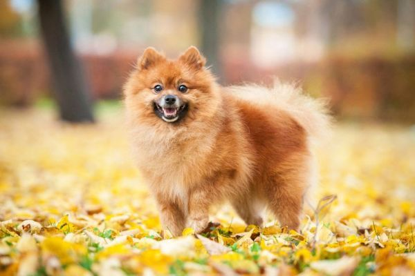 Smallest Dog Breeds Pomeranian