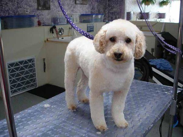 Smallest Dog Breeds Toy Poodle