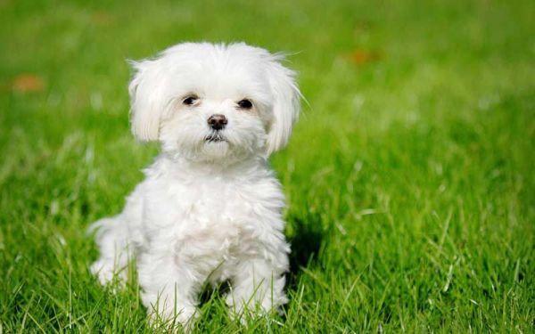 Smallest Dog Breeds Maltese