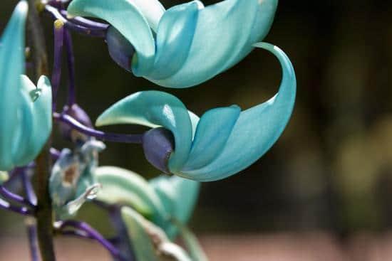 Jade Vine Rare Flowers