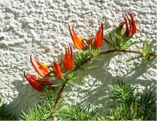 Parrot's Beak Rare Flowers