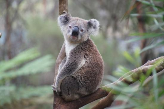 Slowest Animals- Koala Bear
