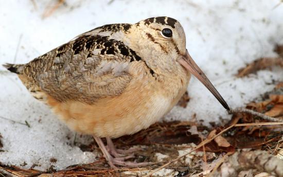 Slowest Animals - American Woodcock