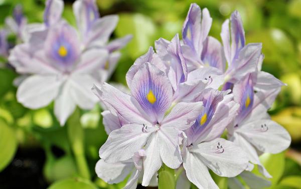Water Hyacinth - Aquatic Flowers