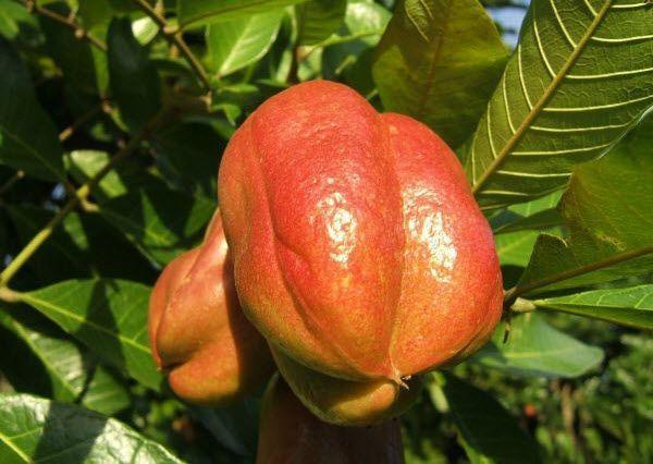 Ackee - Rare Fruits