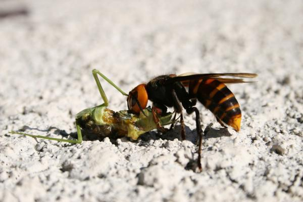 Giant Japanese or Asian Hornet Killer Insects