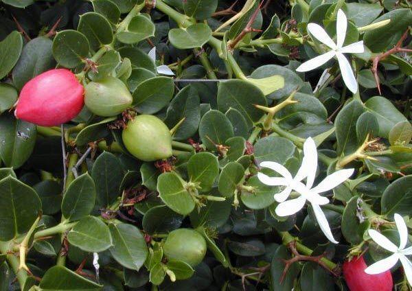 Natal Plum - Rare Fruits