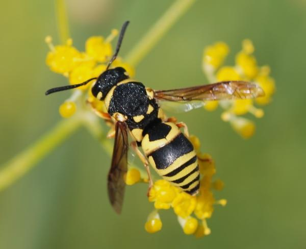 Wasps Killer Insects