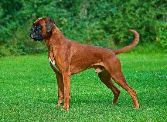 Boxer Dangerous Dog Breeds