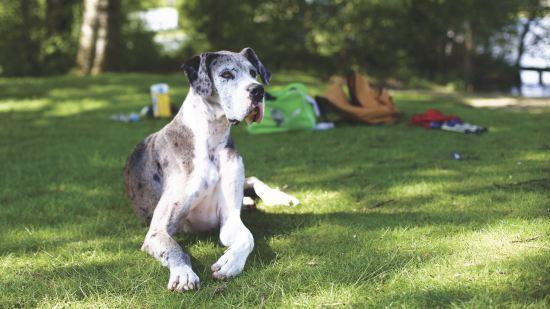 Great Dane Dangerous Dog Breeds
