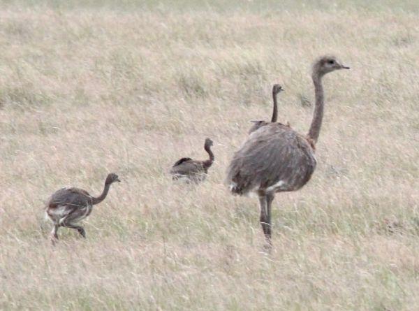Lesser Rhea Largest Birds