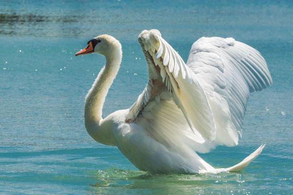 Mute Swan Largest Birds