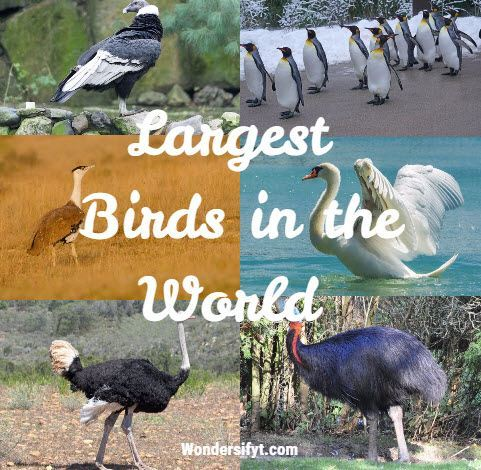 10 Largest Birds in the World - Largest Living Birds