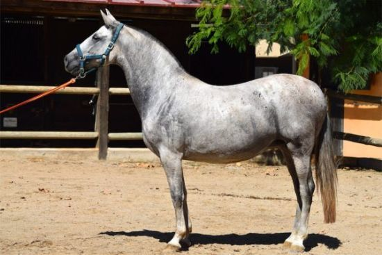 Andalusian Beautiful Horses