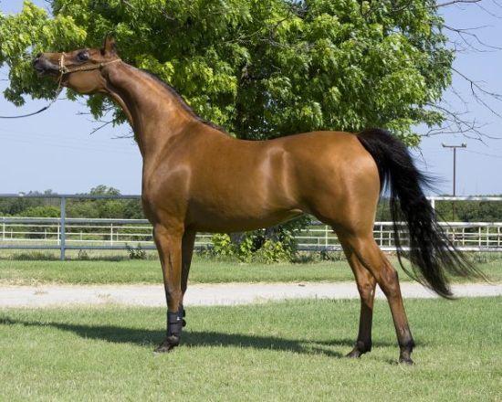 Arabian Beautiful Horses