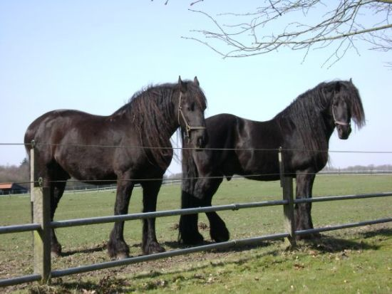 Friesian Beautiful Horses