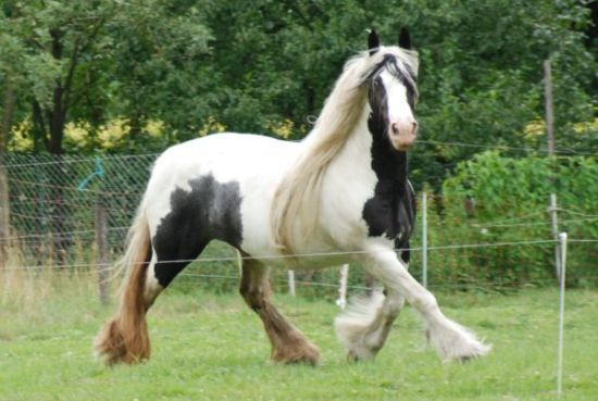 Gypsy Beautiful Horses