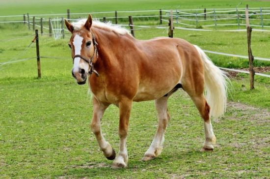 Haflinger Beautiful Horses