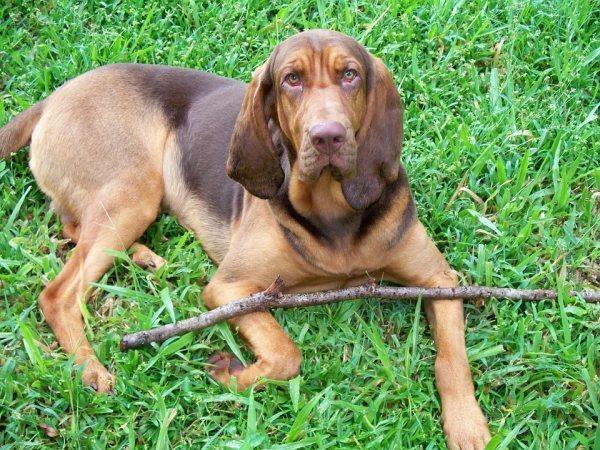 Bloodhound Police Dog Breeds