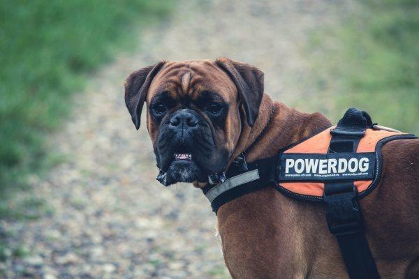 Boxer Dog Police Dog Breeds