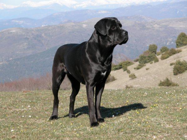 Cane Corso Police Dog Breeds