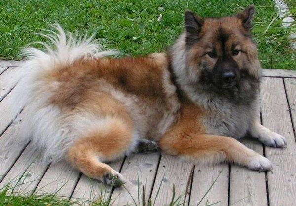 German Chow Designer Dog Breeds