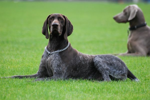 German Shorthaired Pointer Police Dog Breeds