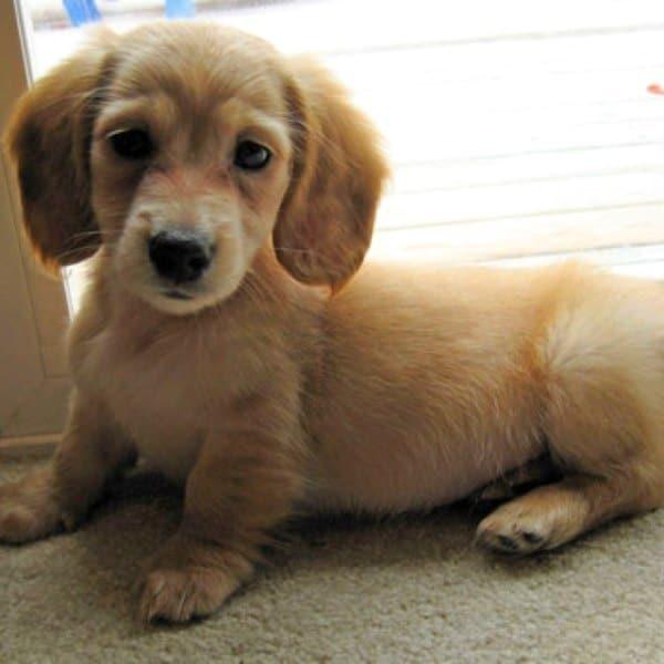 Golden Dox Designer Dog Breeds