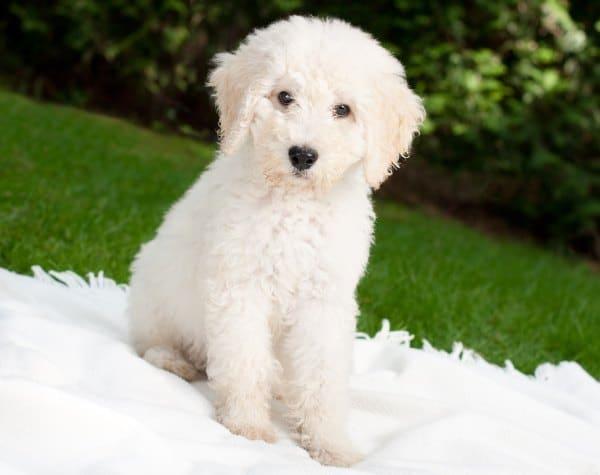 Labradoodle Designer Dog Breeds