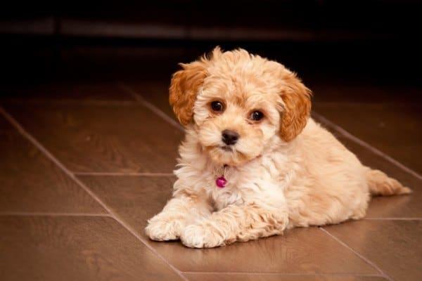 Maltipoo Designer Dog Breeds