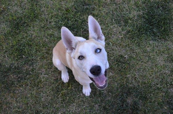 Pitsky Designer Dog Breeds