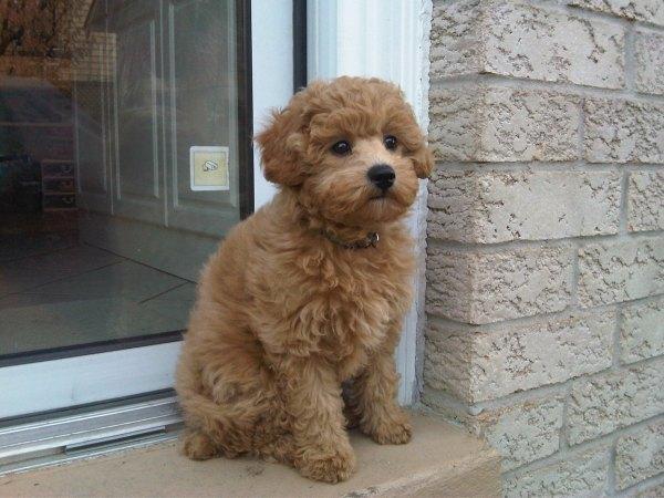 Schnoodle Designer Dog Breeds