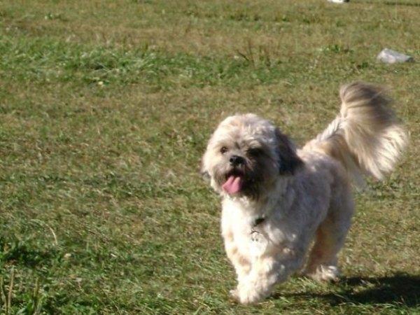 Shihpoo Designer Dog Breeds