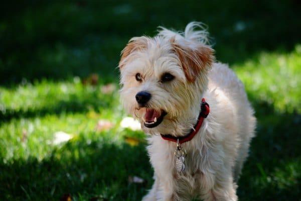 Yorkipoo Designer Dog Breeds