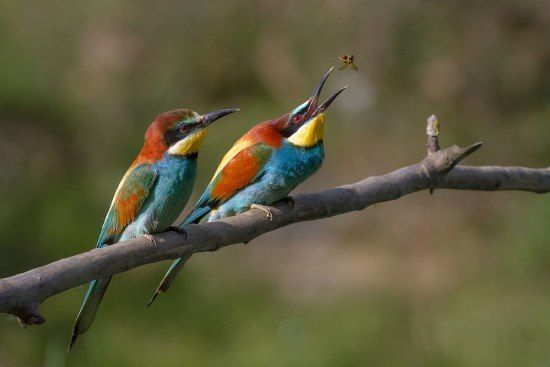 Bee-eater Different Types of Birds