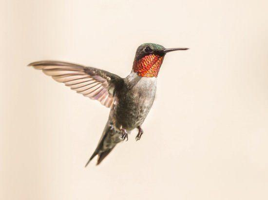 Hummingbird Different Types of Birds