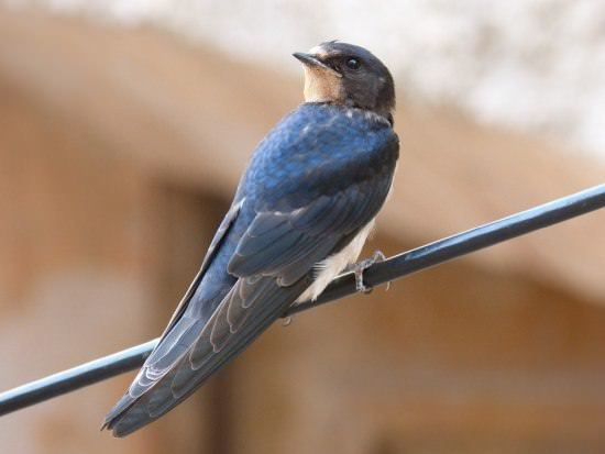 Swallow Different Types of Birds