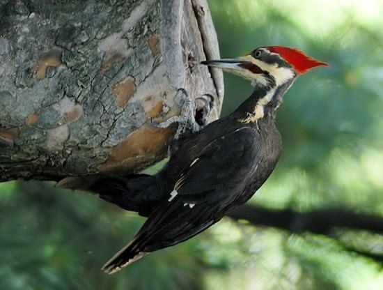 Woodpecker Different Types of Birds