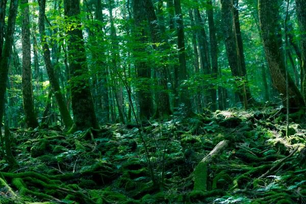 Aokigahara deadliest Forests