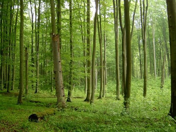 Beech Forest Dangerous Forests
