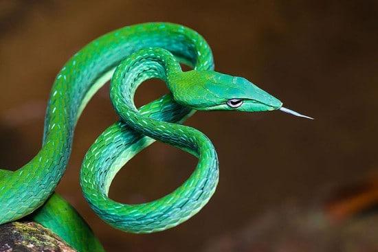 Asian Vine Snake Beautiful Snakes