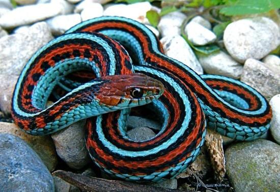 San Francisco Garter Snake Beautiful Snakes