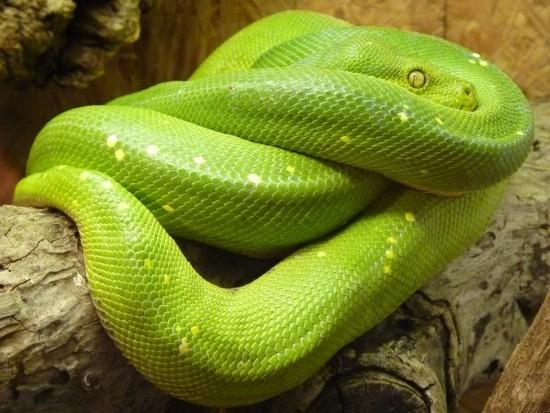 Green Tree Python Beautiful Snakes
