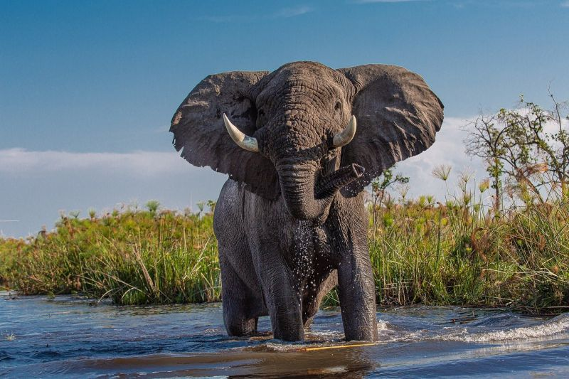 African Elephant Longest Living Animals