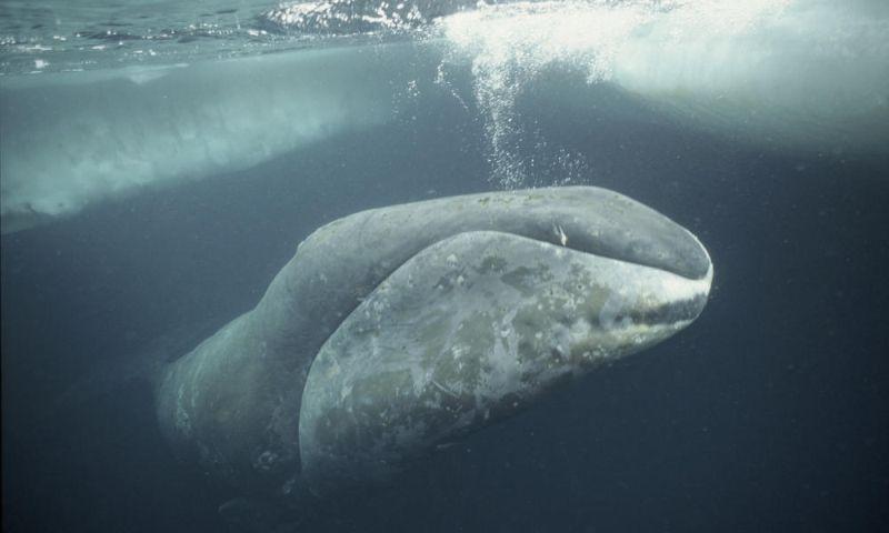 Bowhead Whale Animal