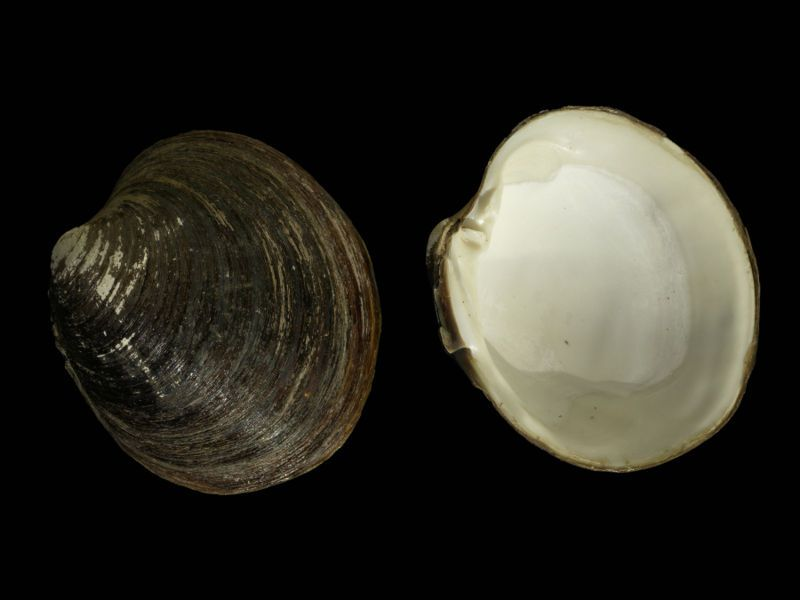 Ocean Quahog Longest Living Animal